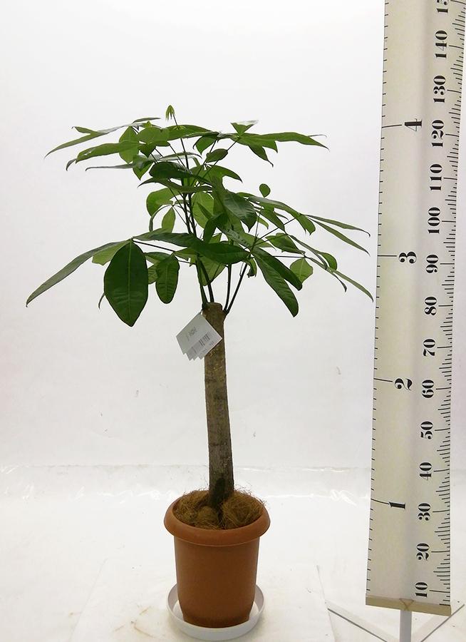 観葉植物 パキラ 8号 朴 プラスチック鉢