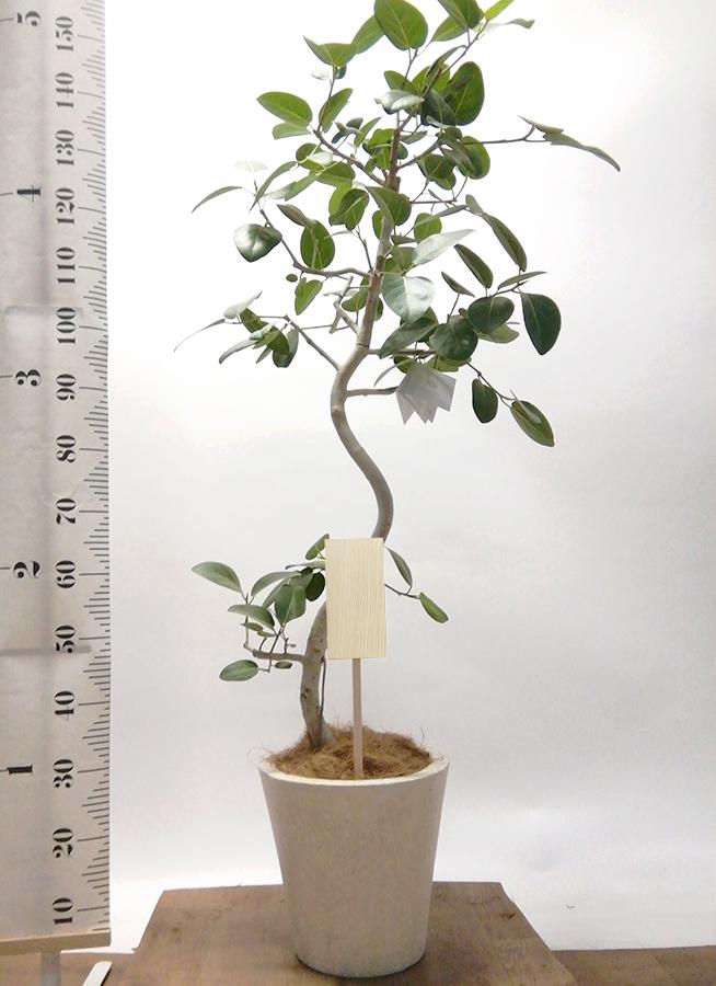 観葉植物 フィカス ベンガレンシス 8号 曲り フォリオソリッド クリーム 付き