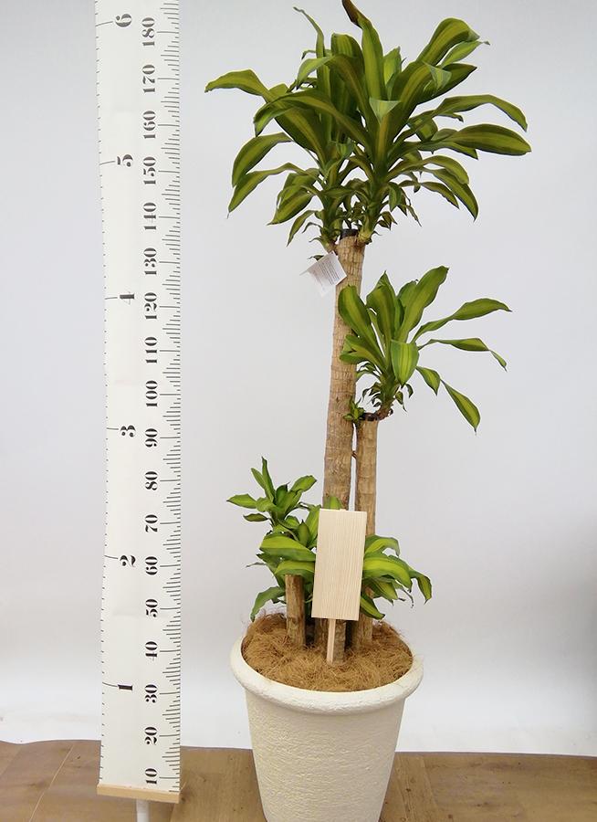 観葉植物 ドラセナ 幸福の木 10号 ノーマル ビアスリムス 白 付き
