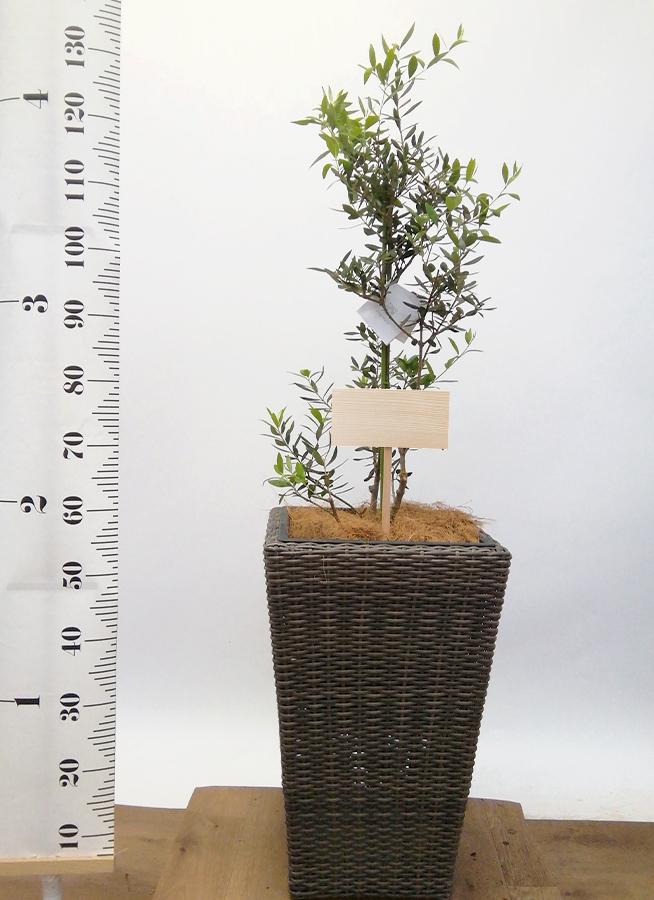 観葉植物 オリーブの木 8号 コロネイキ ウィッカーポット スクエアロング OT 茶 付き