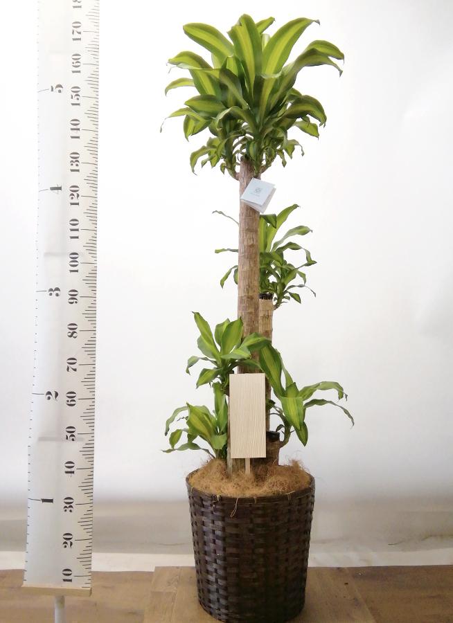観葉植物 ドラセナ 幸福の木 10号 ノーマル 竹バスケット 付き