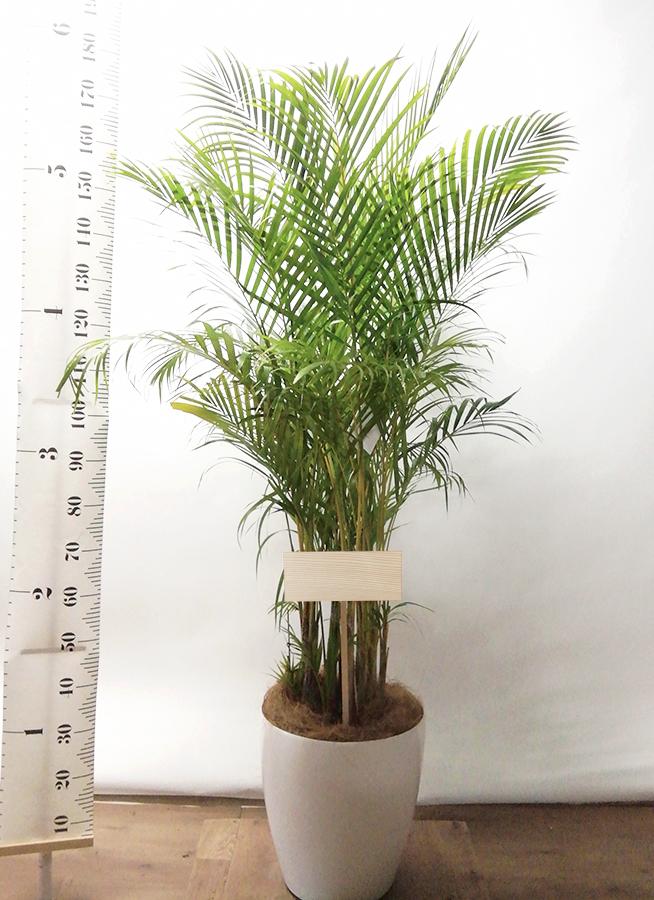観葉植物 アレカヤシ 10号 ラスターポット 付き