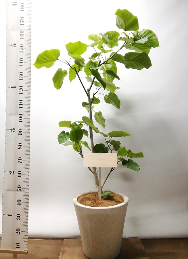 観葉植物 フィカス ウンベラータ 10号 ノーマル フォリオソリッド クリーム 付き