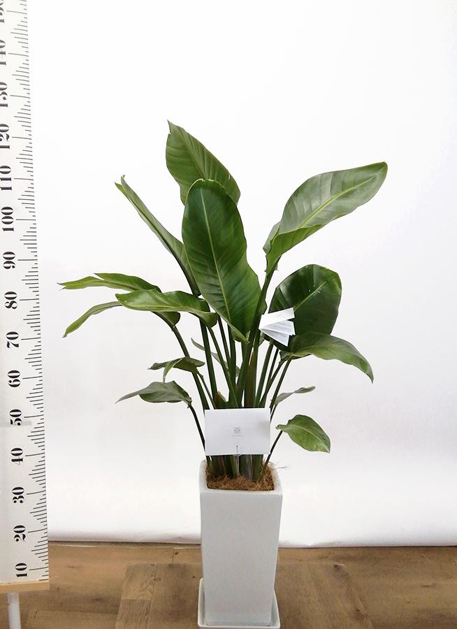 観葉植物 オーガスタ 8号 角高陶器