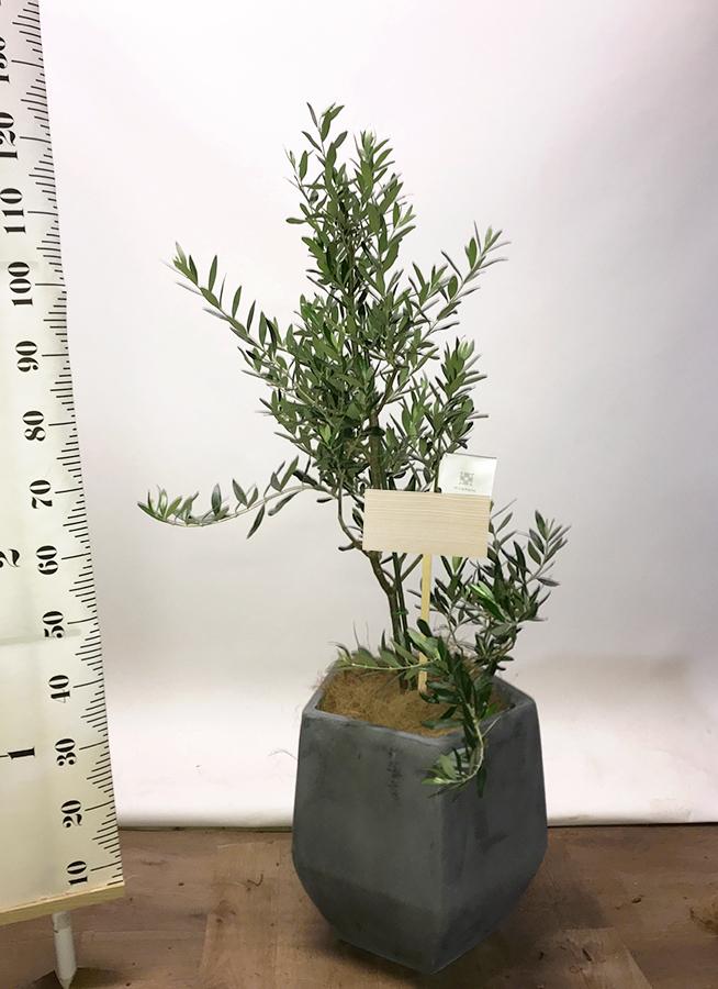 観葉植物 オリーブの木 8号 チプレッシーノ ファイバークレイ Gray 付き