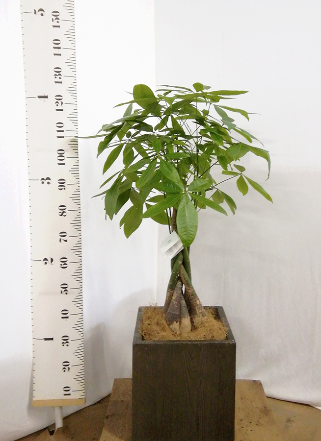 観葉植物 パキラ 8号 ねじり ベータ キューブプランター ウッド 茶 付き