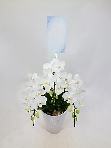 ミディ胡蝶蘭 アマビリス 3本立ち