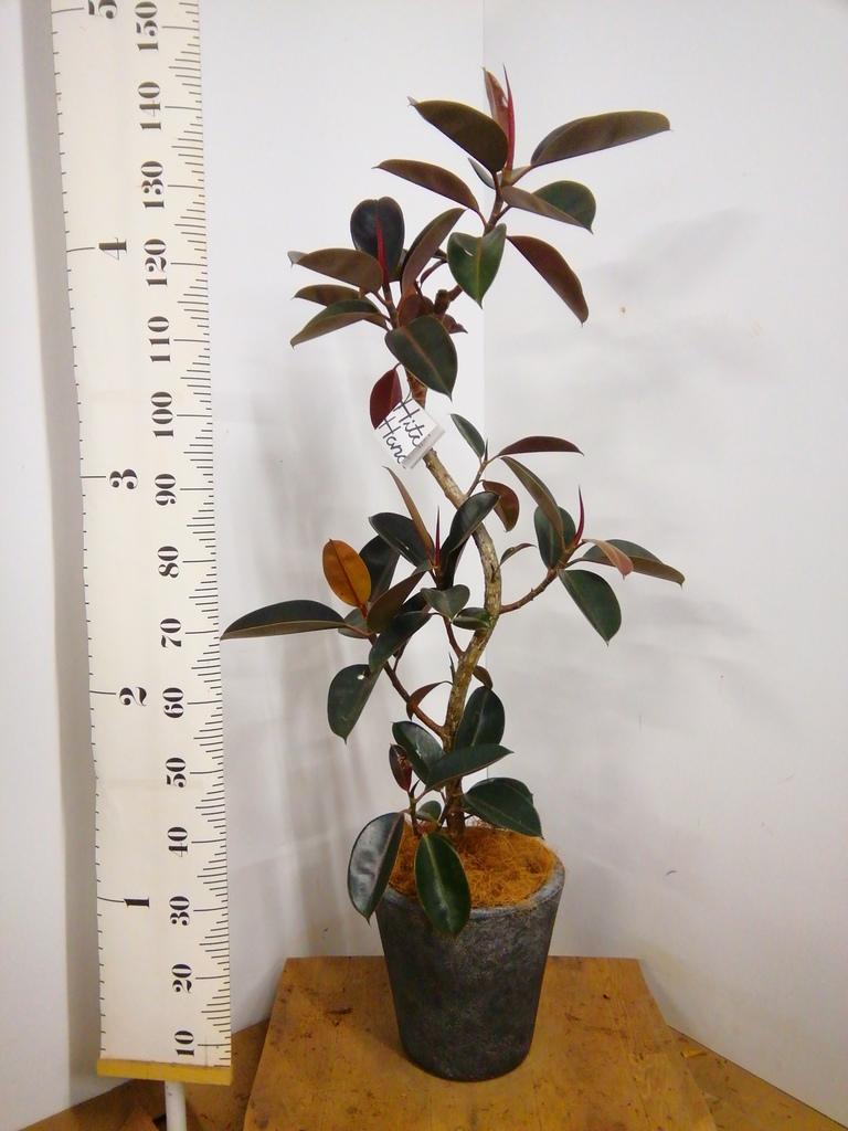 観葉植物 フィカス バーガンディ 8号 曲り フォリオソリッド ブラックウォッシュ 付き
