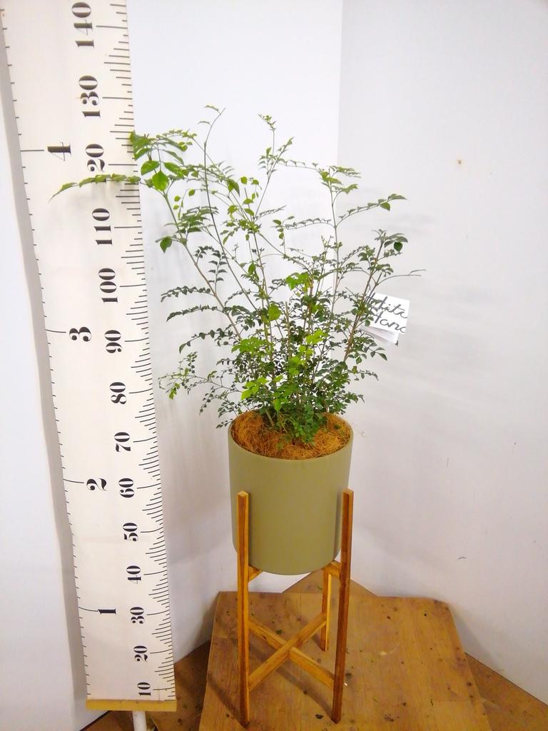 観葉植物 シマトネリコ 6号 ホルスト シリンダー オリーブ ウッドポットスタンド付き