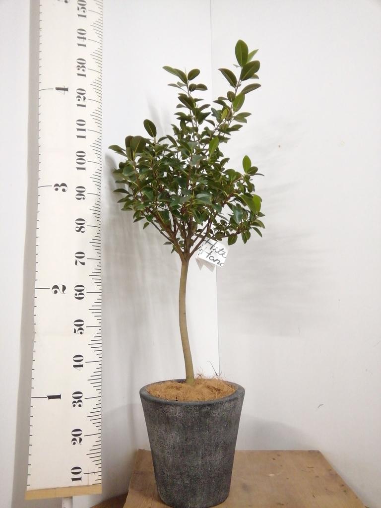 観葉植物 フランスゴムの木 8号 ノーマル フォリオソリッド ブラックウォッシュ 付き