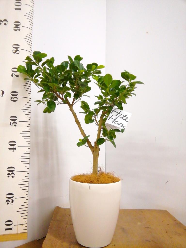 観葉植物 【80cm】パンダガジュマル 6号 #22914