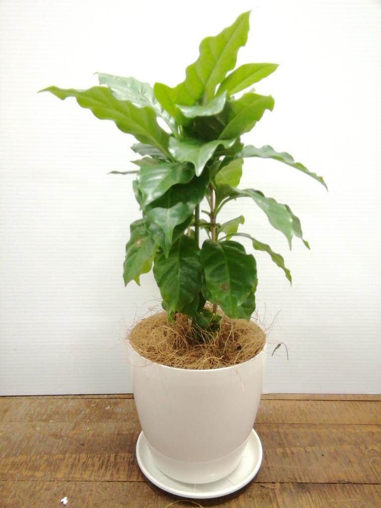 観葉植物   オフィス 育てやすい(明るい日陰で育つ) 観葉植物 オフィス 3点セット(8号×1、6号×1、4号×1)