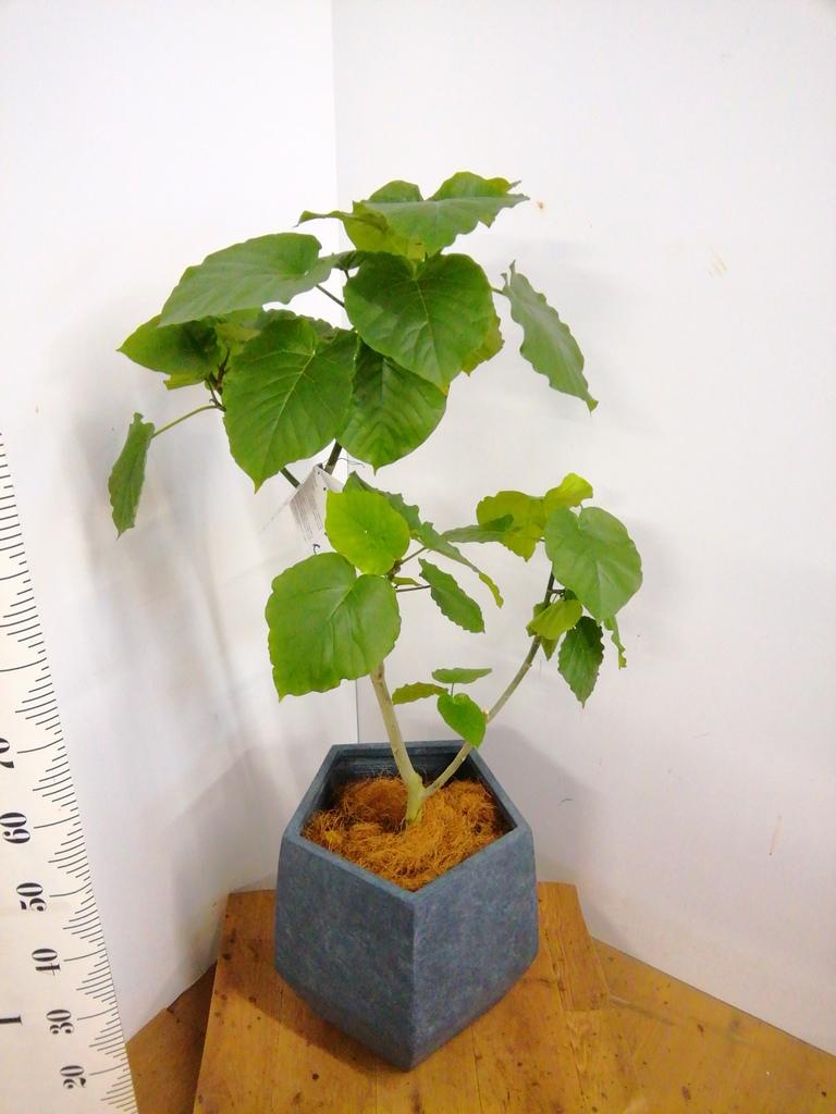観葉植物 フィカス ウンベラータ 8号 ノーマル ファイバークレイGray 付き