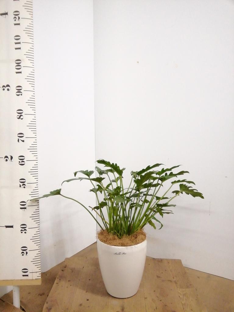 観葉植物   リビング アジアン風なリビングに置く観葉植物 3点セット(8号×1、6号×1、4号×1)