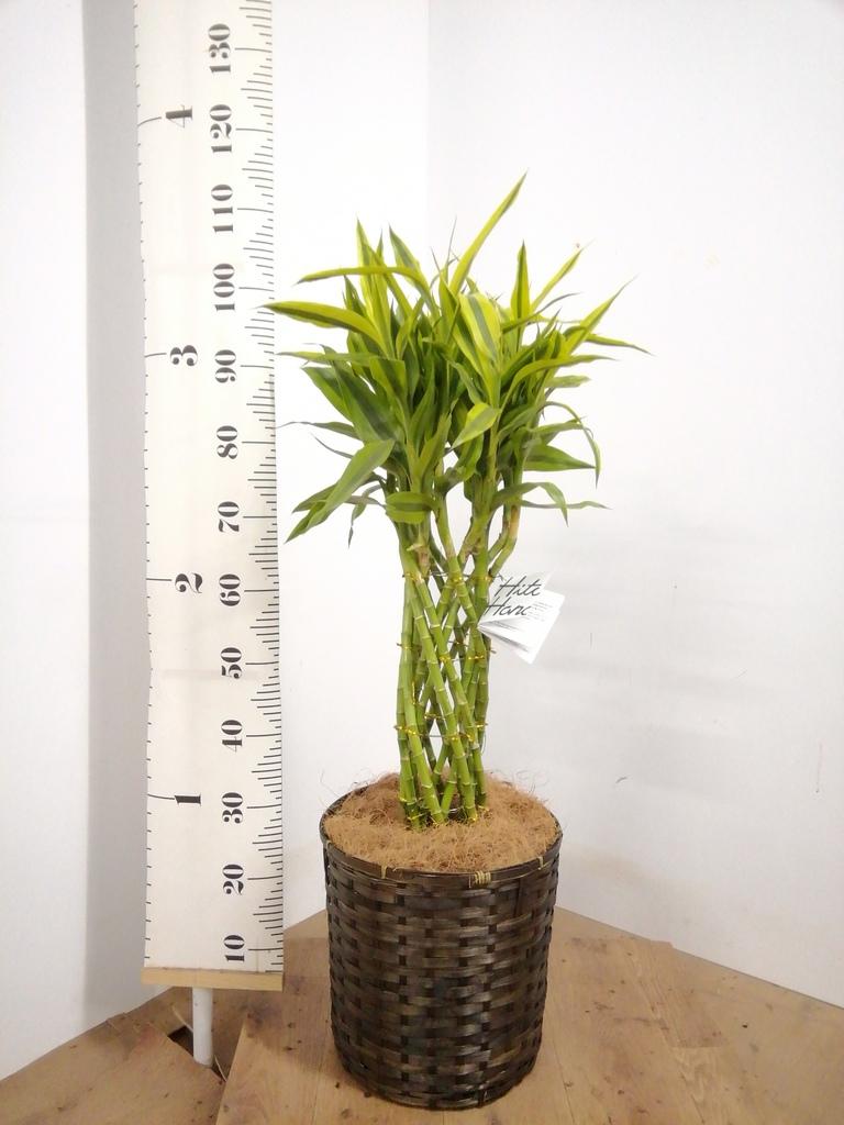 観葉植物 ドラセナ ミリオンバンブー(幸運の竹) 8号 竹バスケット 付き