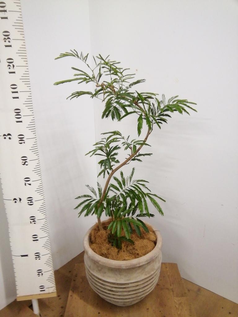 観葉植物 エバーフレッシュ 8号 曲り テラアストラ リゲル 赤茶色 付き