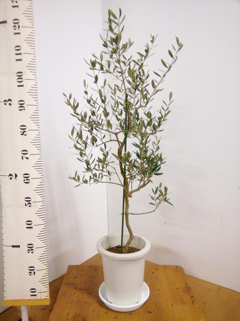 観葉植物 オリーブの木 8号 コレッジョラ プラスチック鉢