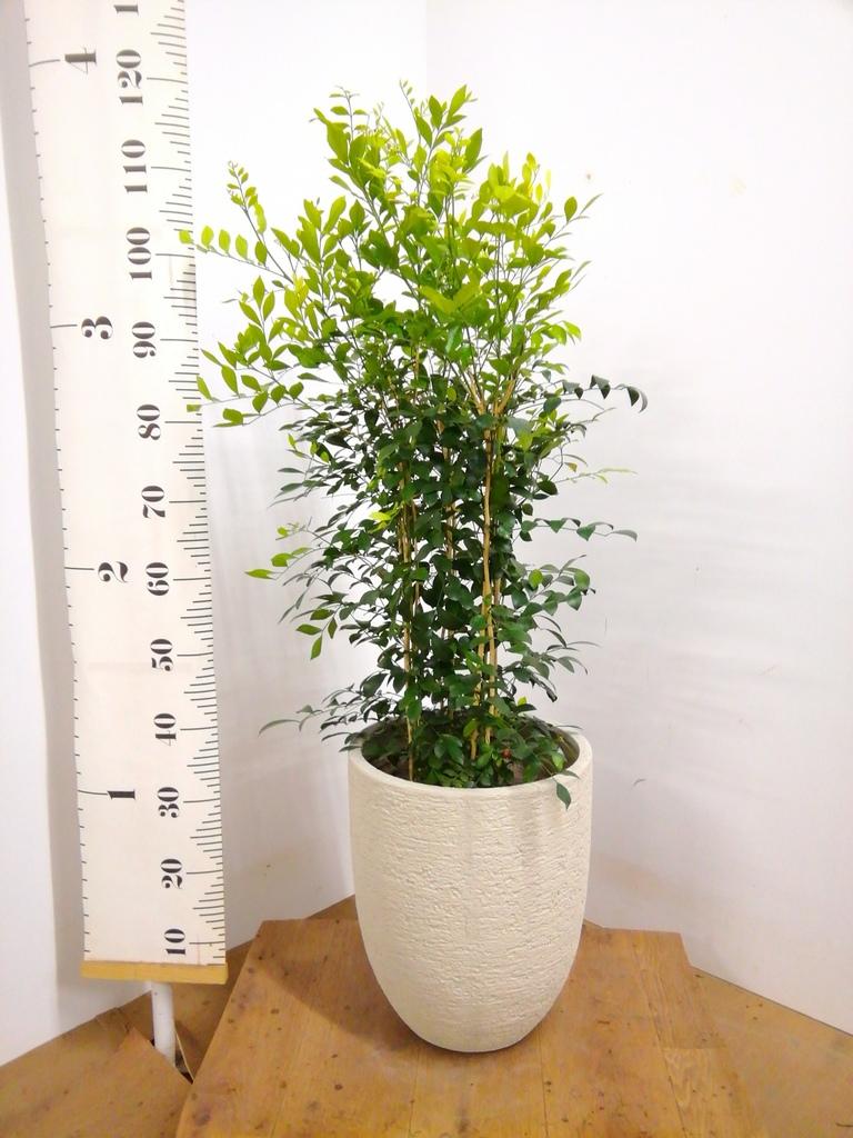 観葉植物 シルクジャスミン 8号 ビアスアルトエッグ 白 付き