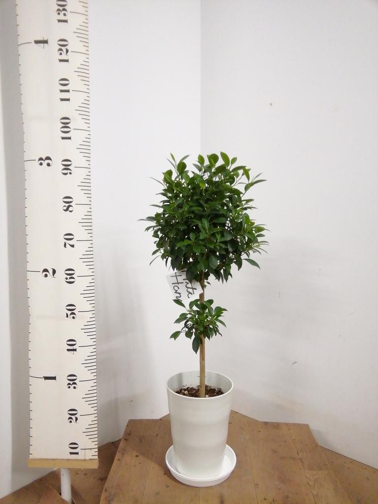 観葉植物 フィカス ナナ 7号 ノーマル プラスチック鉢