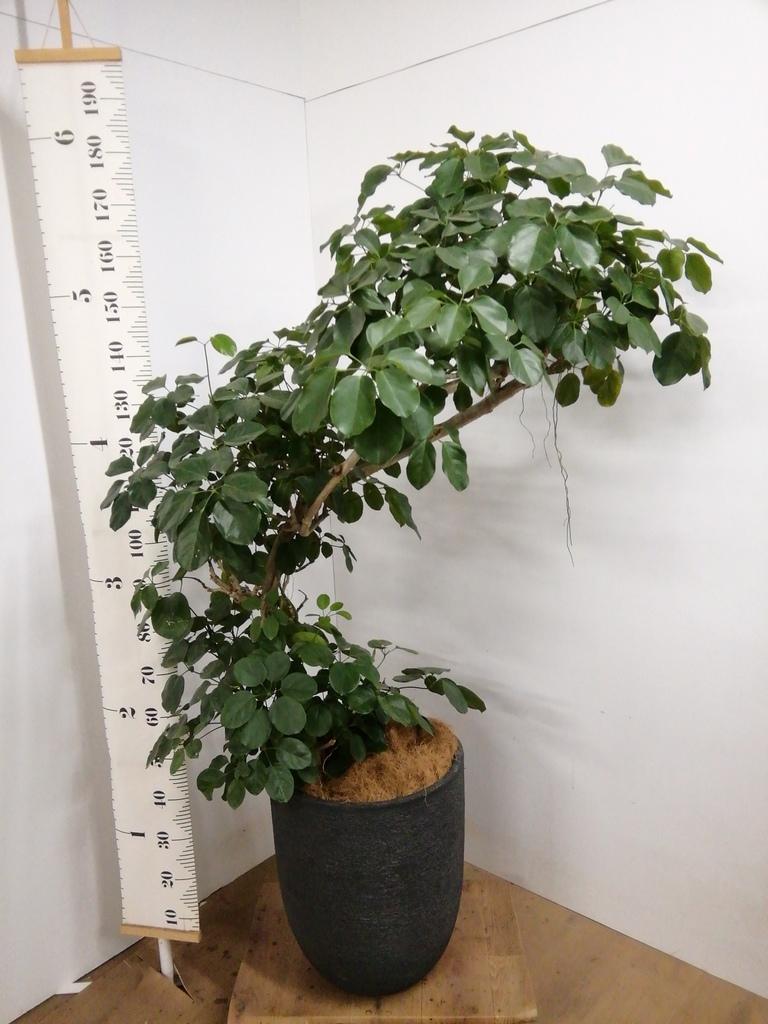 観葉植物 【165cm】シェフレラ 10号 #23060 ※1都3県配送限定商品