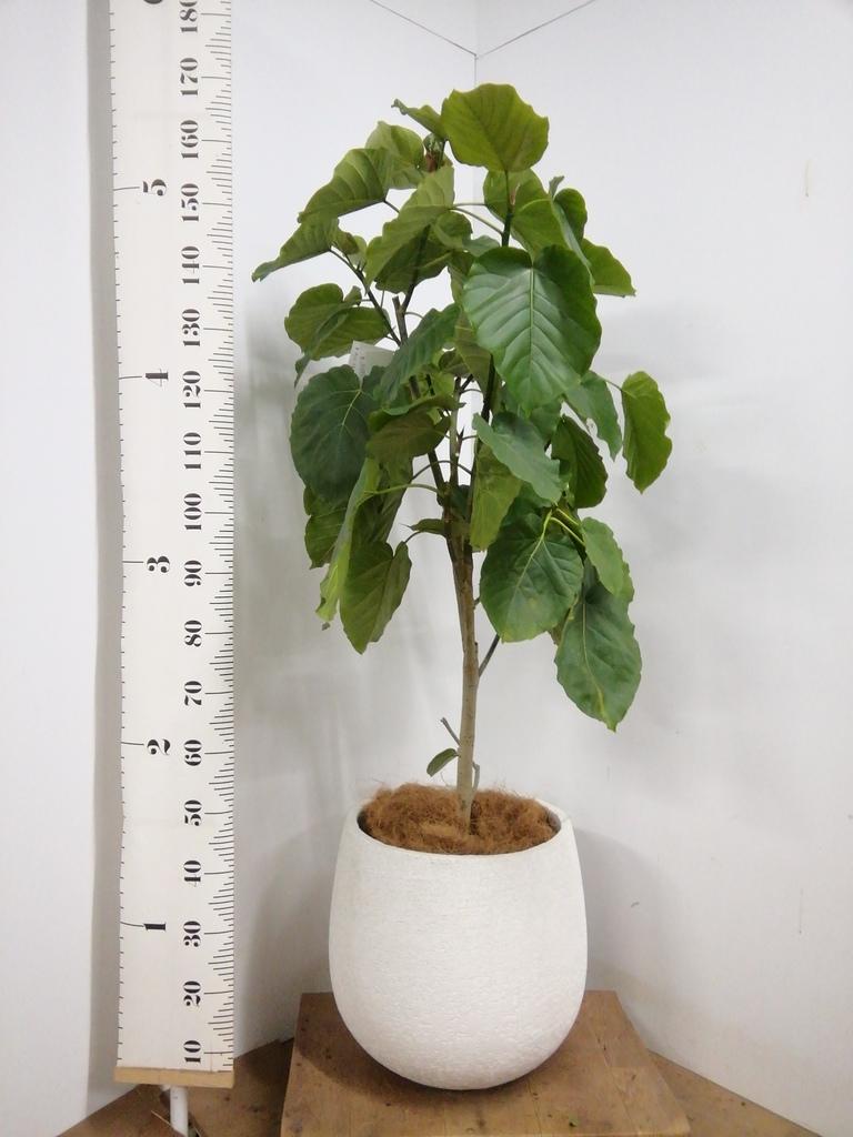 観葉植物 フィカス ウンベラータ 10号 ノーマル エコストーンwhite 付き