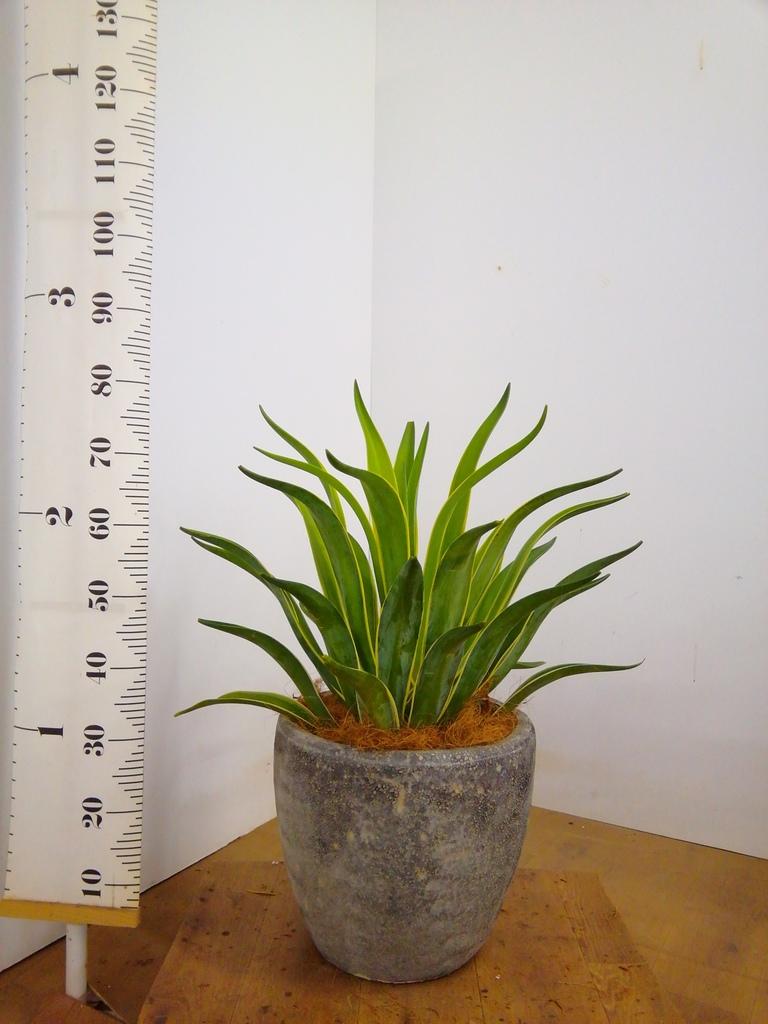 観葉植物 アガベ 7号 ベネズエラ アビスソニアミドル 灰 付き