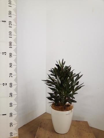 観葉植物 コルディリネ (コルジリネ) サンゴ 7号 ラスターポット 付き