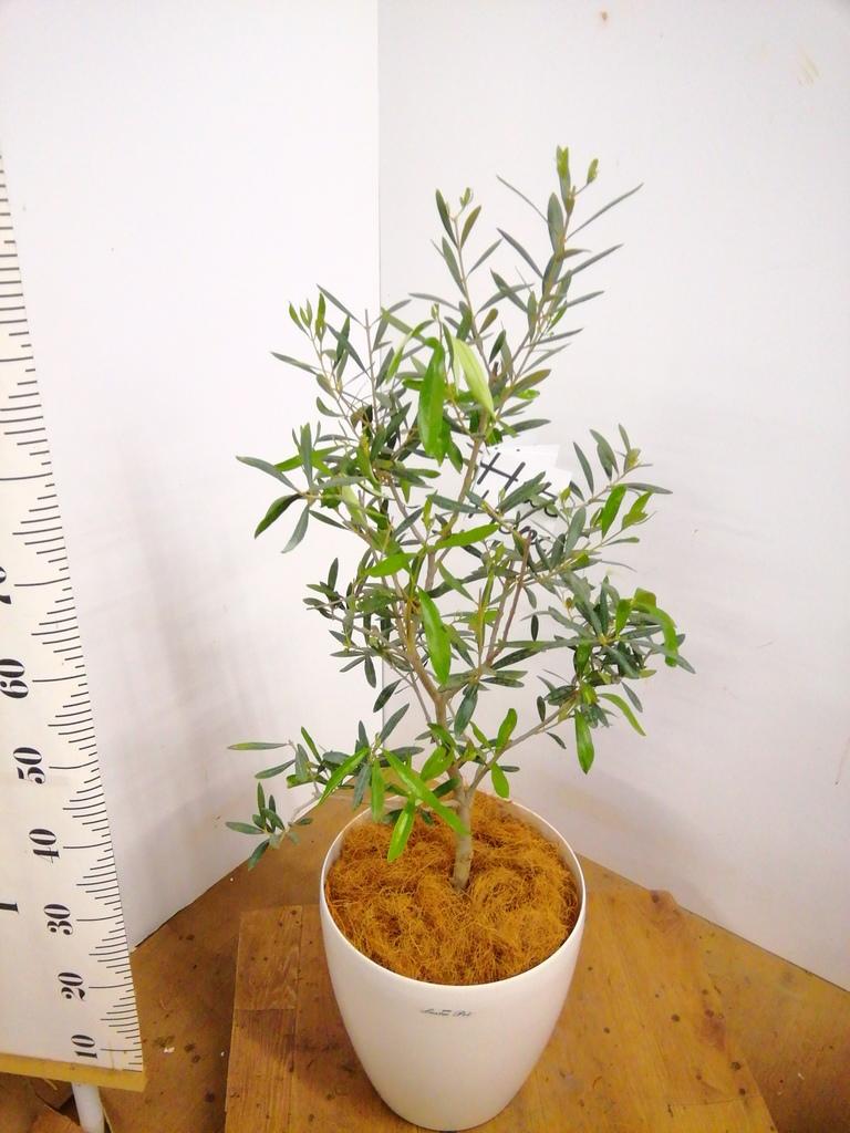 観葉植物 オリーブの木 8号 コラティーナ (コラチナ) ラスターポット 付き