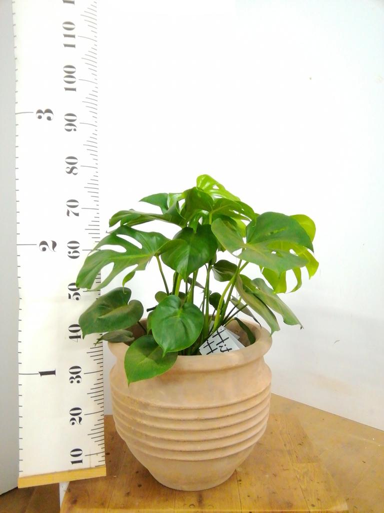 観葉植物 モンステラ 8号 ボサ造り テラアストラ リゲル 赤茶色 付き