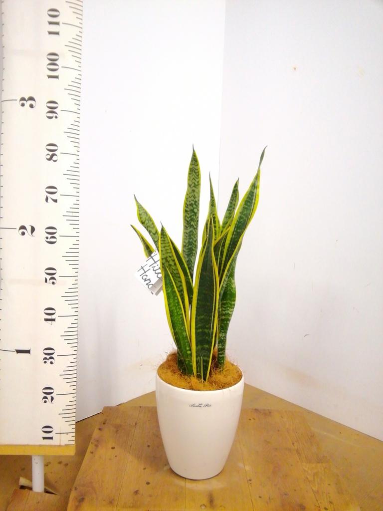 観葉植物 サンスベリア 6号 トラノオ ラスターポット 付き