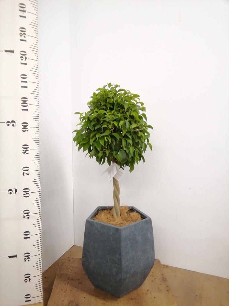 観葉植物 フィカス ベンジャミン 8号 玉造り ファイバークレイ Gray 付き