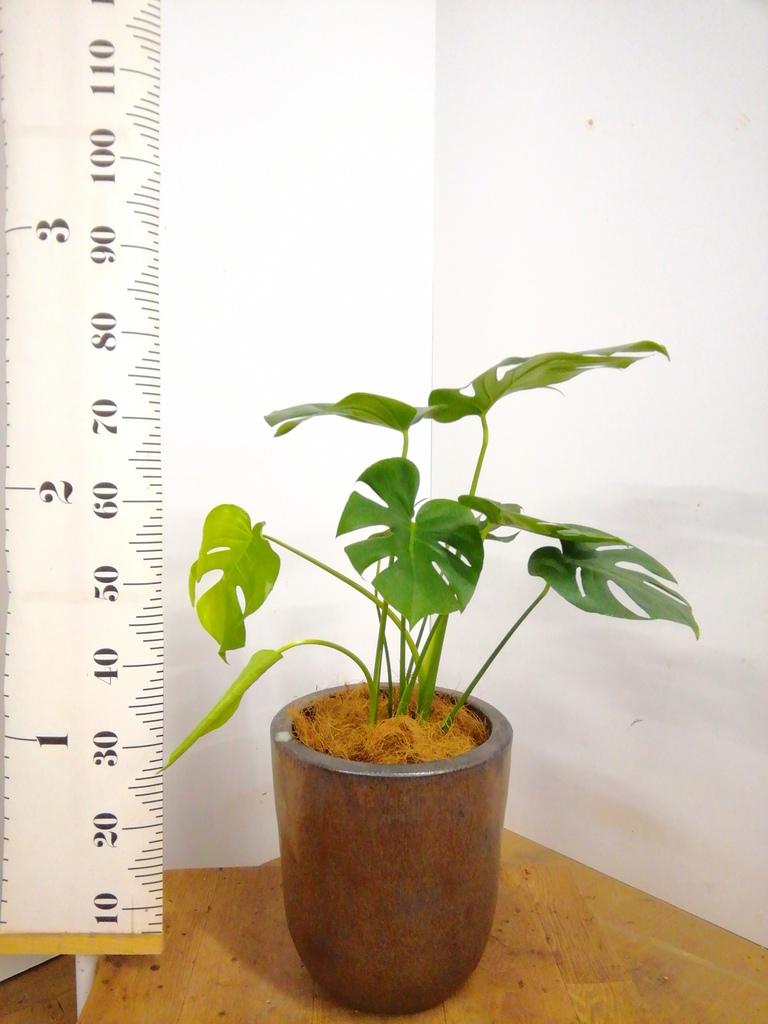 観葉植物 モンステラ 6号 ボサ造り ビトロ ウーヌム コッパー釉 付き