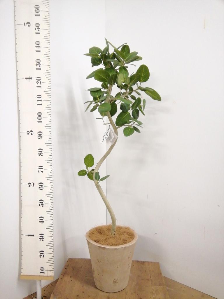 観葉植物 フィカス ベンガレンシス 8号 曲り ルーガ アンティコ ソリッド 付き