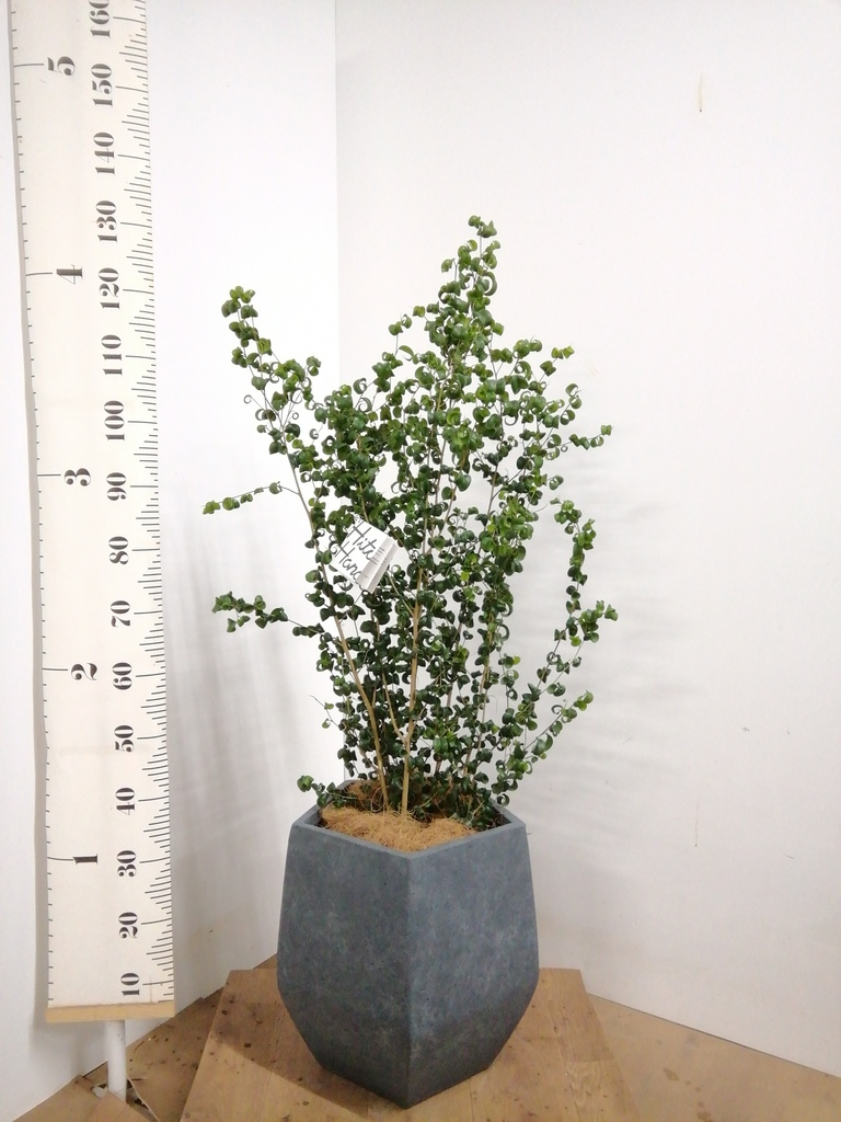 観葉植物 フィカス ベンジャミン 7号 バロック ファイバークレイ Gray 付き