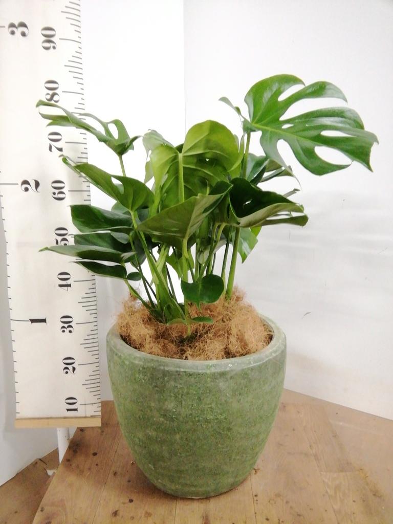 観葉植物 モンステラ 8号 ボサ造り アビスソニアミドル 緑 付き