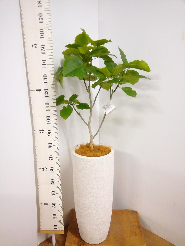 観葉植物 フィカス ウンベラータ 8号 ノーマル エコストーントールタイプ white 付き