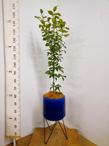 レモンの木 8号 リスボン ビトロ エンデカ 鉢カバースタンド付 ブルー 付き