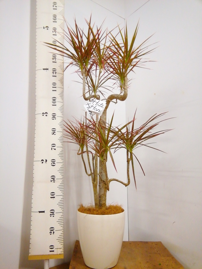 観葉植物 【150cm】ドラセナ コンシンネ レインボー 8号 曲り #22898