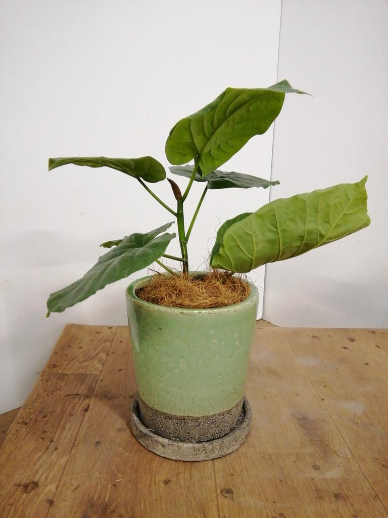 観葉植物 フィカス ウンベラータ 4号 ノーマル ヴィフポット ミントグリーン 付き