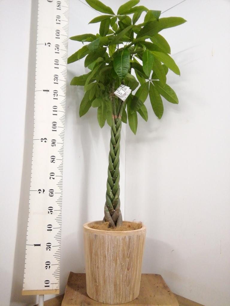 観葉植物 パキラ 10号 ねじり ウッドプランター 付き