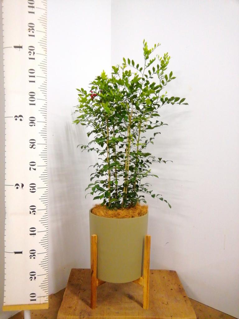 観葉植物 シルクジャスミン 8号 ホルスト シリンダー オリーブ ウッドポットスタンド付き