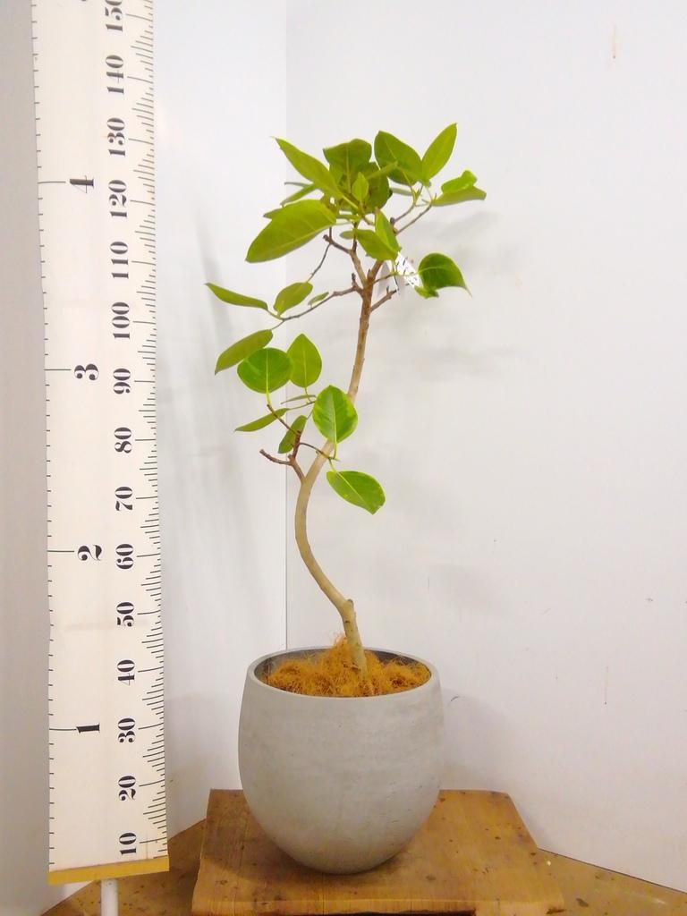 観葉植物 【140cm】フィカス アルテシーマ 8号 曲り #22543