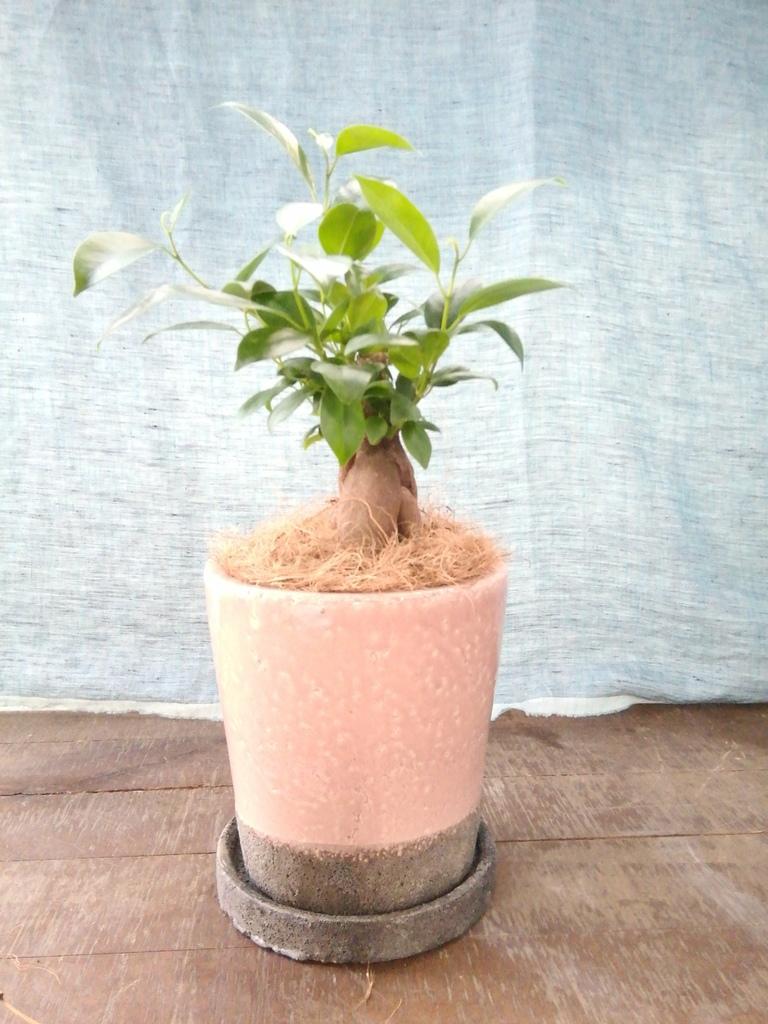 観葉植物 ガジュマル 4号 股仕立て ヴィフポット サーモンピンク 付き