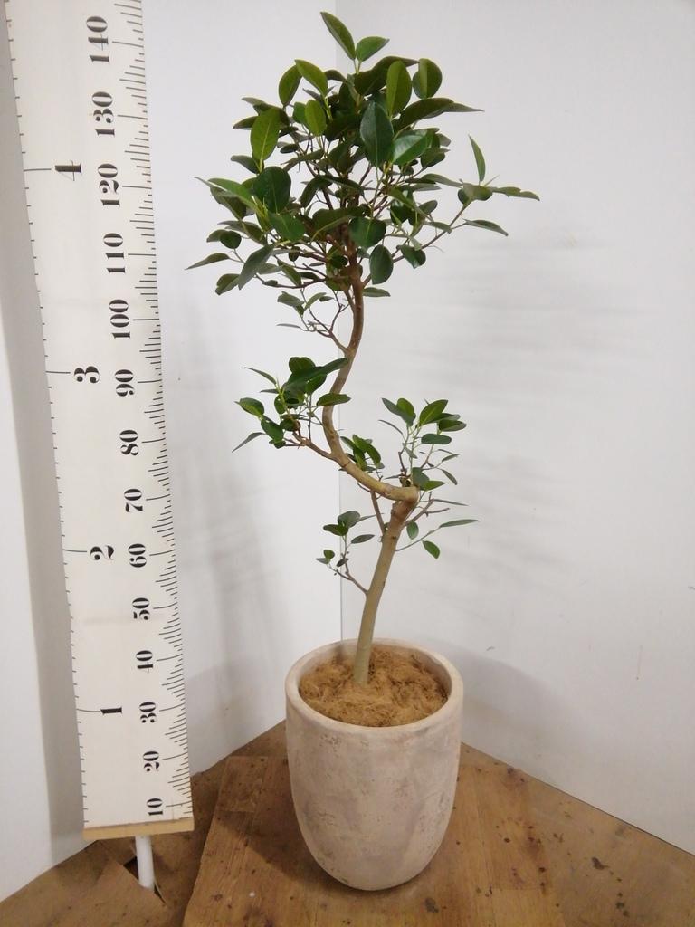 観葉植物 フランスゴムの木 8号 曲り ルーガ アンティコ アルトエッグ 付き