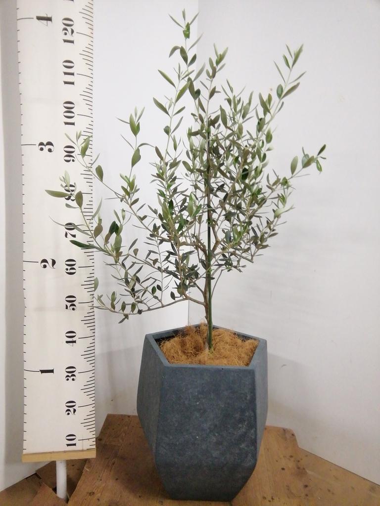 観葉植物 オリーブの木 8号 コレッジョラ ファイバークレイ Gray 付き