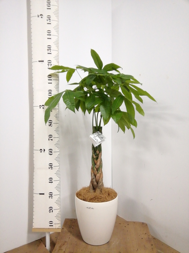 観葉植物 パキラ 8号 ねじり ラスターポット 付き