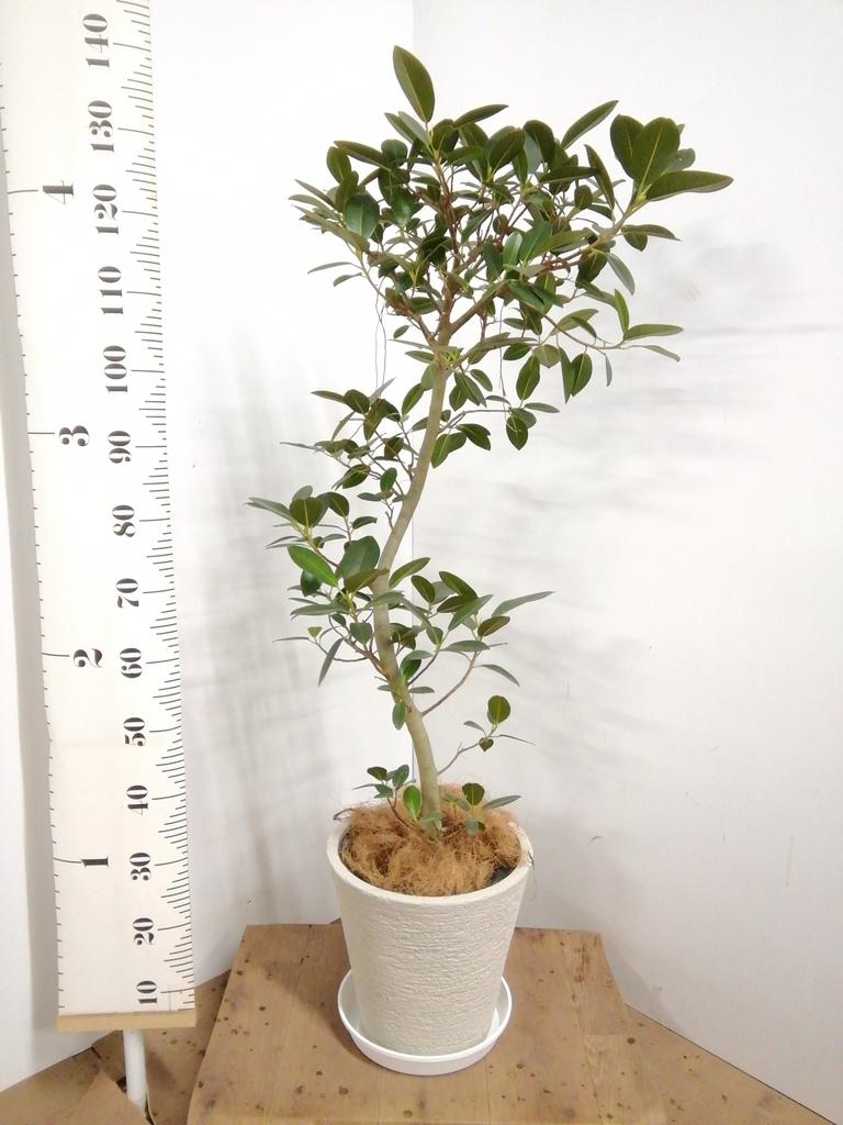 観葉植物 フランスゴムの木 8号 曲り ビアスソリッド 白 付き