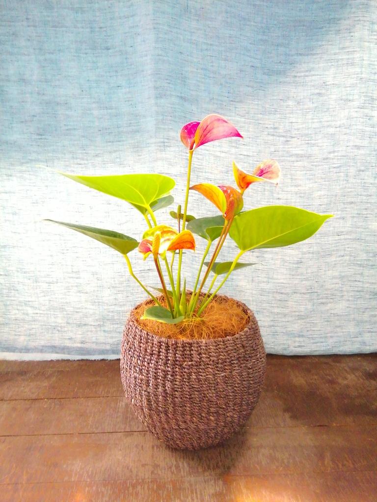 観葉植物 アンスリウム 4号 ピンクチャンピオン アバカバスケット スモーク 付き