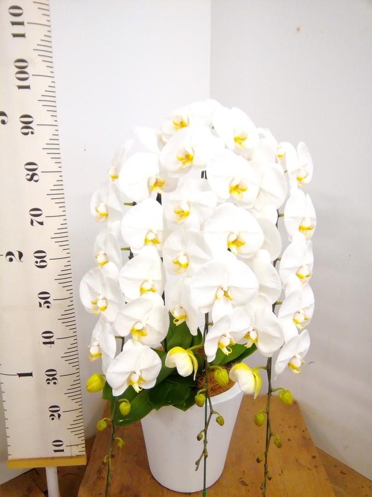 胡蝶蘭大輪 白 3本立ち 35輪〜40輪前後 フォリオソリッド 白 付き