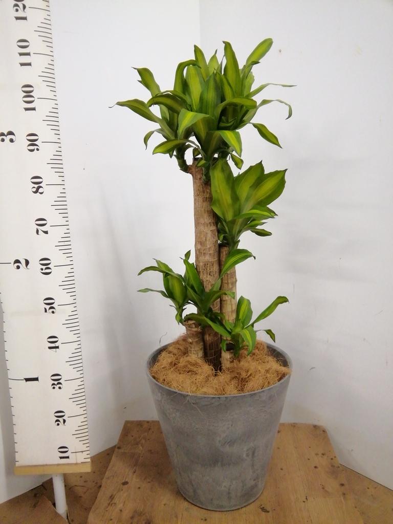 観葉植物 ドラセナ 幸福の木 8号 ノーマル アートストーン ラウンド グレー 付き